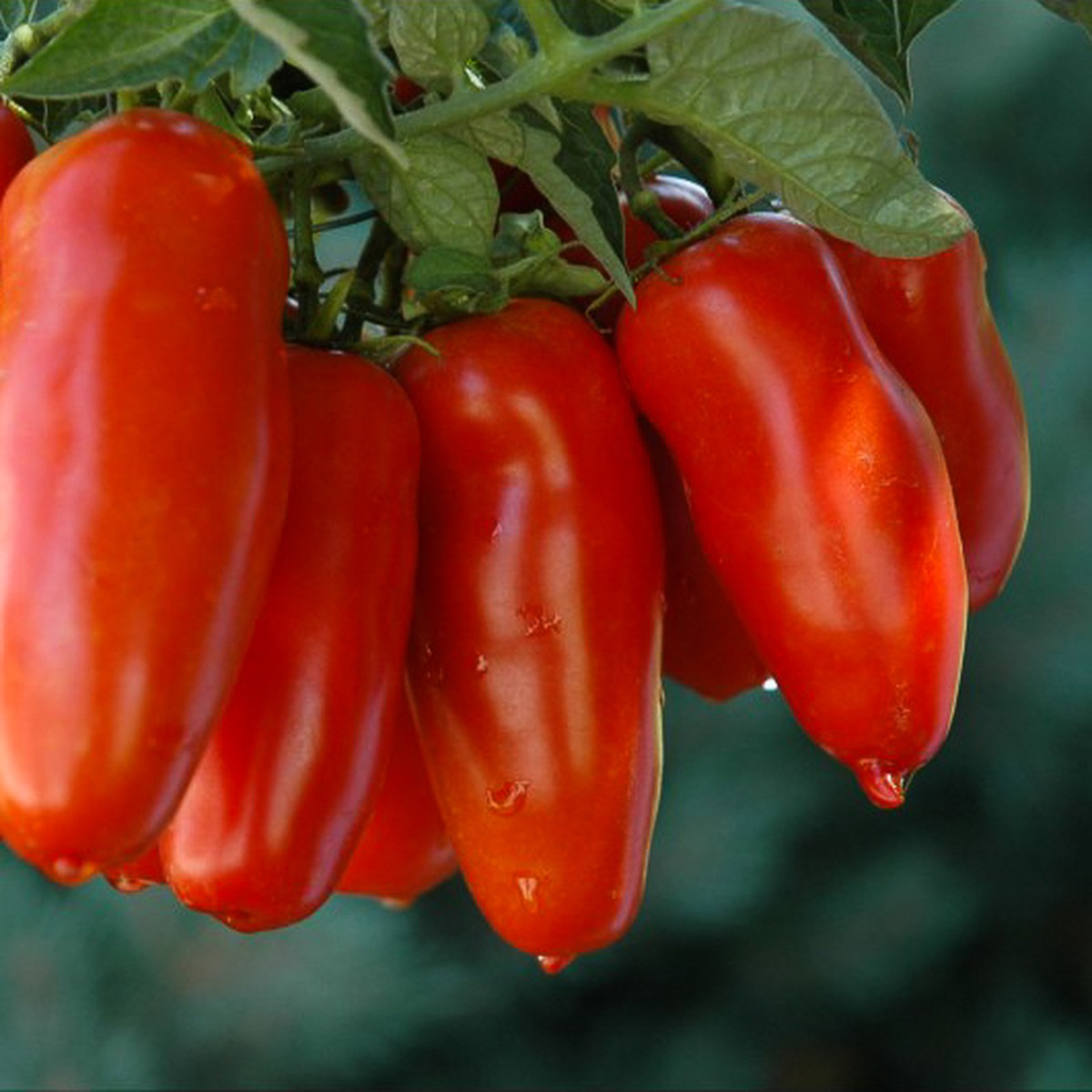 Tomates allongées (250g)